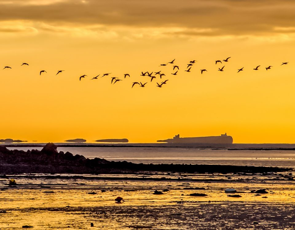 Geese flying at dawn from Holy Island with Inner Farne Island behind. Birds in flight