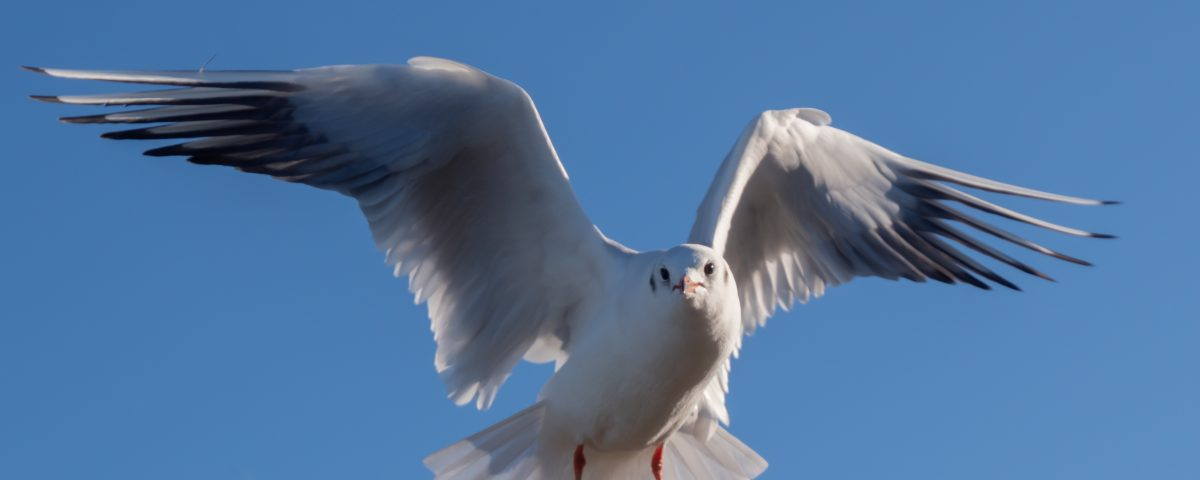 Black headed gull winter plumage