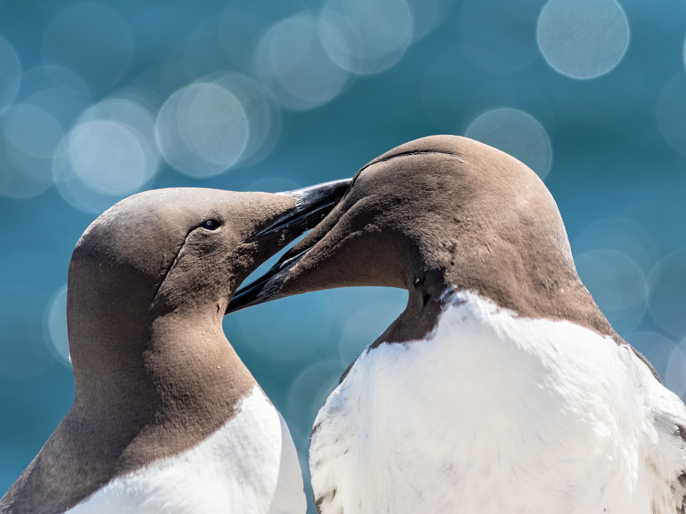 Guillemot preening each other, with a shallow depth of field, out of focus water glittering behind. When I can achieve images like this, I have no desire to change cameras.