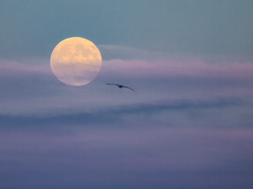 The moon and an arctic tern