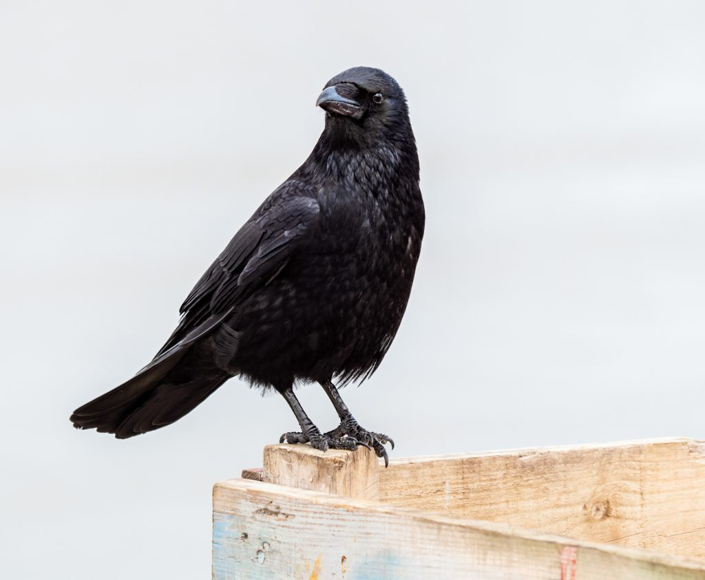 Carrion Crow is one of our commonest birds seen in harbours and along the coast
