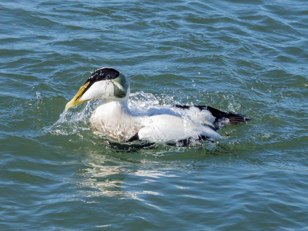 Eider, one of the many birds that can be seen around the coast of Northumberland