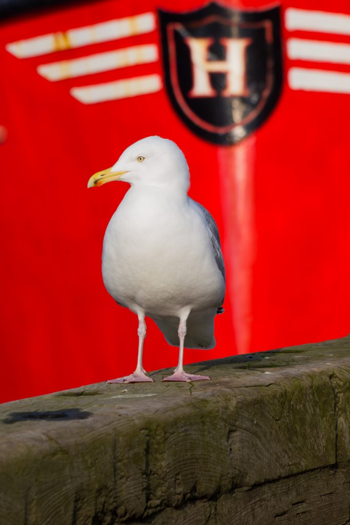 Herring gull in front of a red boat