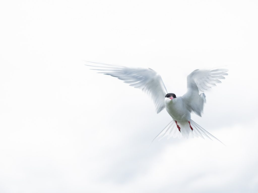 Arctic Tern, one of the many birds that can be seen on the Northumberland coast
