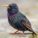 Shallow depth of field image of a starling