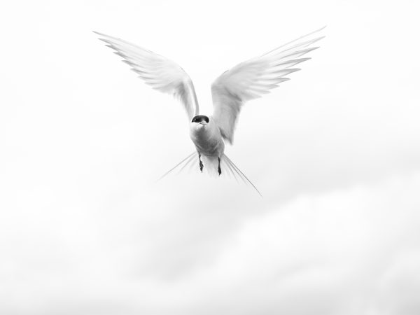 Black and white image of bird in flight