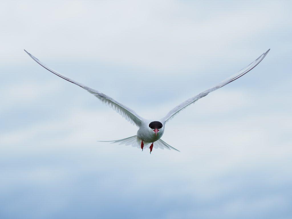 Image of an Arctic Tern